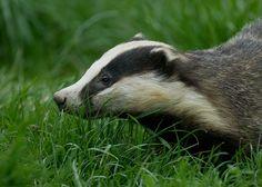 badger | Flickr - Photo Sharing!