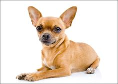 Chihuahua,despite their tendency toward yappiness, they are considered the best dogs for novice owners, though their fragility can make them less than ideal pets for families with small children. Cute Chihuahua, Chihuahua Puppies, Chihuahuas, Chihuahua Tattoo, Chihuahua Temperament, Cavalier King Charles Spaniel, Group Of Dogs, Dog Groups, Puppies