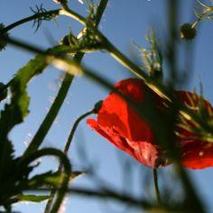 Poppy's/Klaproos #poppy #nature #lindabaartkunst www.lindabaartkunst.nl