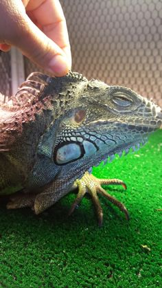 Spike: June 2016 my green iguana loves to be pet and will fall asleep when I pet him! I notice his crest getting taller, also the 2 bumps in his head which are fatty deposits/brain bumps at the front base of his crest.