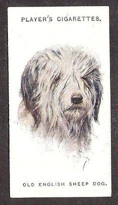 OLD ENGLISH SHEEPDOG Bobtail-1929