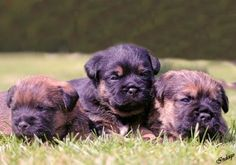 Bob arrives tomorrow! How cute are Border Terriers!