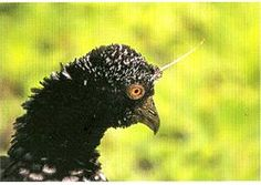 Horned screamer (Anhima cornuta) Related to ducks, but most closely to magpie goose)