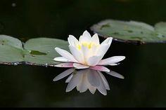 Witte Waterlelie.