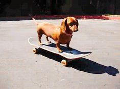dachshund-skateboard