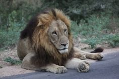 Panthera leo (Dreadlocks) Yep this is Yoshi Wild Animals, Animals And Pets, Lion Sketch, Wild Lion, Cat Species, Lion Pictures, Wild Creatures, Hyena, Leopards