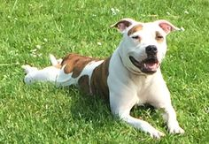 Cookie  18 month old female Staffordshire Bull Terrier Cross #cutedogs #cute #dogs #dog #pets #babblepets