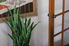 More Snake plant love.