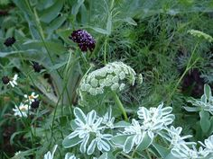 long border - black cosmos . queen anne's lace . euphorbia . white coreopsis . silvery foliage of cardoon