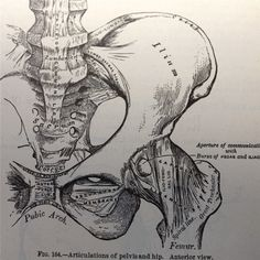 Vintage anatomical drawing medical illustration , pelvis , hip skeleton book page , paper ephemera human anatomy.