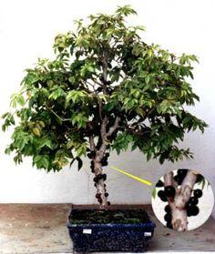 Bonsai of plinia cauliflora mart kausel Planting Flowers, Plants, Eco Garden, Fruit Garden, Growing Plants, Fruit Trees, Bonsai, Growing Tree, Garden Supplies