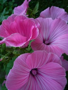 Beautiful Pink Lavatère Flowers