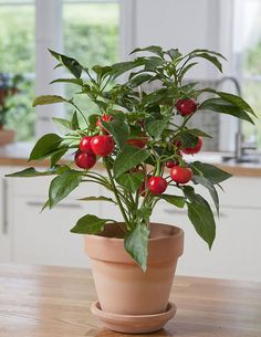 Hot Tomato / Hungarian Hot Cherry (capsicum annuum)