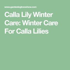 Calla Lily Winter Care: Winter Care For Calla Lilies