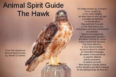Spirit guide hawk