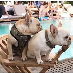 French Bulldogs Poolside, @frenchieleo