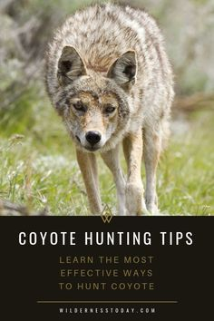Looking for some tips to help make your next coyote hunt a success? Check out our guide and make the most of your next outing. Quail Hunting, Coyote Hunting, Hunting Tips, Hunting Rifles, Turkey Hunting, Archery Hunting, Bow Hunting, Hunting Man Caves, Hunting Stuff