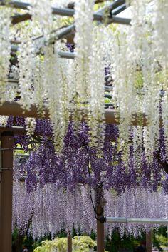 gradational Japanese wisteria