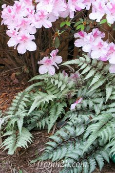 15 Stunning Perennial Ground Cover Plants That Thrive in the Shade Japanese Painted Ferns under an azalea Perennial Ground Cover, Ground Cover Plants, Japanese Flower Tree, Shade Garden, Garden Plants, Best Perennials For Shade, Growing Winter Vegetables, Japanese Painted Fern, Plants Under Trees
