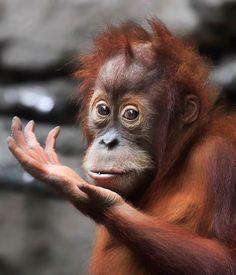 Orangutan; Lil Devil by Klaus Wiese on 500px