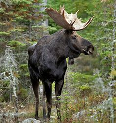 Moose - as strange as this sounds, I would like to see a Moose in the wild. Hubby got me going when we were up in the Hiawatha National Forest and were hoping to see one. Now, it's a mission!