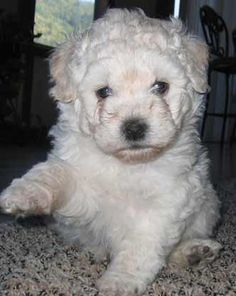Puli Puppies for Sale in Oregon, OR black & white Pulik for sale Pumi Dog, Hungarian Puli, Men And Babies, Puppy Breath, Rare Dog Breeds, Herding Dogs, Dog Show, Little Dogs, Puppies For Sale