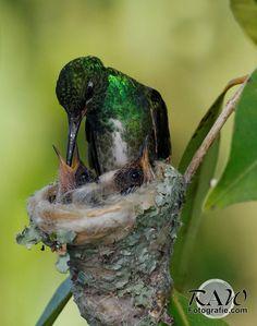 Hummingbird feeding by Raul Behr on 500px