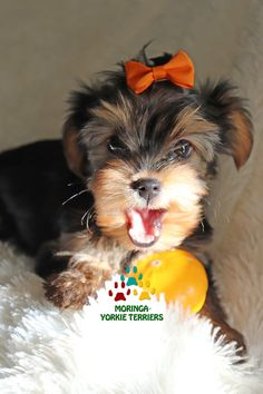 Available Micro Teacup Yorkies* Toy Yorkie Puppies* Yorkie Terrier Puppies *Parti Yorkie Puppies *Chocolate Yorkie Puppies *Merle Yorkie Puppies *Socal Yorkie Teacup Puppies Yorkie Poo Puppies, Yorkie Breeders, Toy Yorkie, Biewer Yorkie, Cute Teacup Puppies, Yorkie Puppy For Sale, Toy Puppies, Puppies For Sale, Yorkie Teacup Puppies
