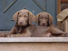 Chesapeake bay retriever pups :)