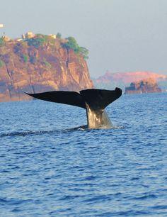 Blue whale Sightings at Chaaya Blu Tricomalee http://www.mysrilankantrip.com/