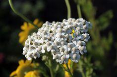 """Achillea millefolium """" Schneetaler """""""