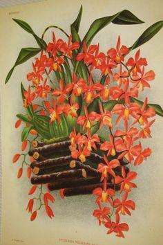 Lindenia Botanical Print Limited Edition Cochlioda Noezliana Orchid Floral B2      $15.31