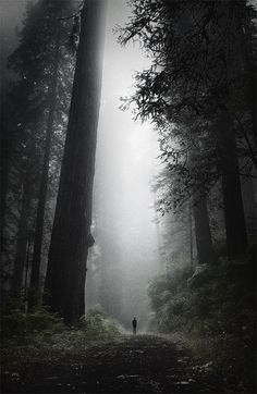 (Perspective) Foggy Redwoods ~ California