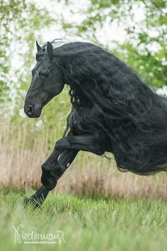 Bindert, Friesian stallion. Fotografie Bettina Niedermayr