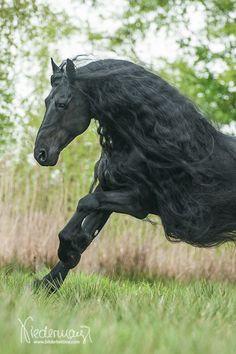 Bindert, Friesian stallion. Fotografie Bettina Niedermayr