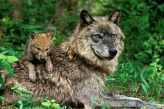 Timber wolf and pup *Love Her Colors : ) 仔犬 on オカン Wolf Images, Wolf Photos, Wolf Pictures, Beautiful Creatures, Animals Beautiful, Cute Animals, Wild Animals, Baby Animals, Wolf Spirit
