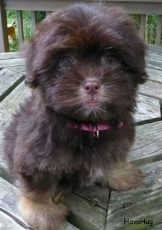 Havanese Puppy. They are like chocolates. You can never have just one! ♥ HavaHug Havanese Puppies www.havahughavane… Source by phillip_porter The post Photo Gallery appeared first on Sellers Canines.
