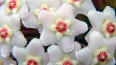 Cultivar la flor de cera