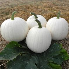 """""""Moonshine"""" Pumpkin from Harris Seeds. Squash Seeds, All Vegetables, White Pumpkins, Thanksgiving Table, Flower Seeds, Outdoor Living, Outdoor Pots, At Least, Fancy"""