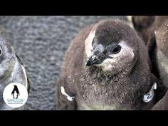 Save a penguin chick at SANCCOB - YouTube