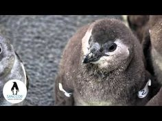Save a penguin chick at SANCCOB - YouTube