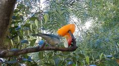 CELESTINO Y SIETE COLORES en libertad en Punta del Este -  Aves de Uruguay