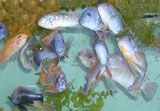 Fish food recipe - made from shrimp, veggies, etc. - for African cichlids, maybe use for AquaPonics fish tanks?