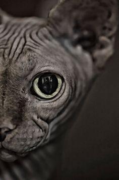 #sphinx cat #eye #karvaton kissa #kissa #cat #sfinx #katse #staring #looking #katsoo #photography #valokuvaus #image #wrinkle #ryppyinen #pet #lemmikki #macro Kissa, Sphynx Cat, Lion Sculpture, Owl, Statue, Bird, Portrait, Cats, Animaux