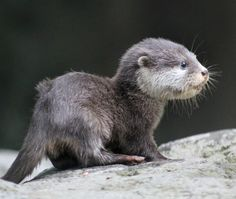 Saved at birth, this baby Oriental Small-clawed Otter is out of the nest box at Taronga Zoo! Read Intan's full story and see video at ZooBorns.com and at http://www.zooborns.com/zooborns/2017/05/saved-at-birth-baby-otter-comes-out-of-the-nest-.html