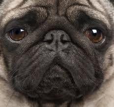 Pugs - Lovable, Huggable, Puggable!  http://www.squidoo.com/puggable