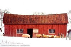 72 Naked Visitor a pig stands amongst a group of sheep snowy winter red barn