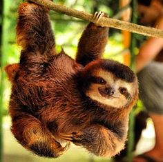 Baby Sloths specialize in hanging out while impressing us with his strength.  (Please consider clicking through to make a donation to Save Our Sloths and The Sloth Sanctuary.)