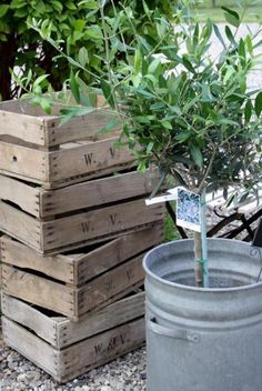 Wooden crates and olive tree in galvanized bucket
