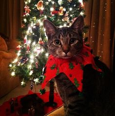 Cute Christmas collar.  i love dressing up my cats for Christmas. Can't say they feel the same.